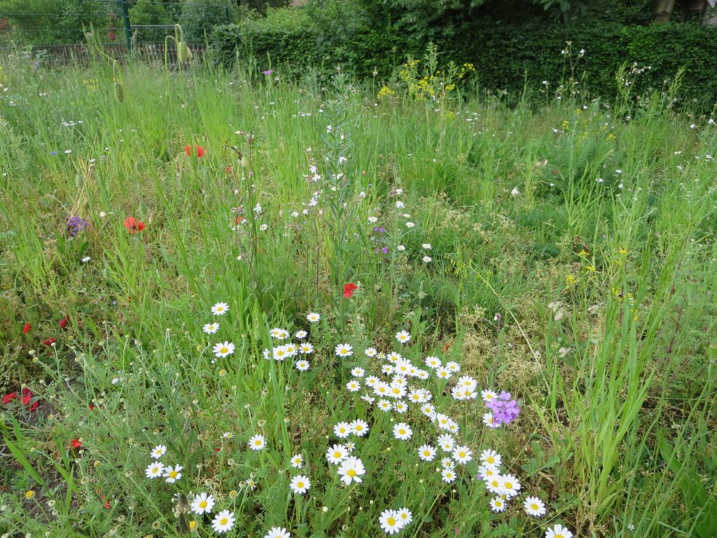 Blühfläche an der Drachenwiese, ein Projekt der gemeinde Senden. Foto: LieBe, 2.6.16